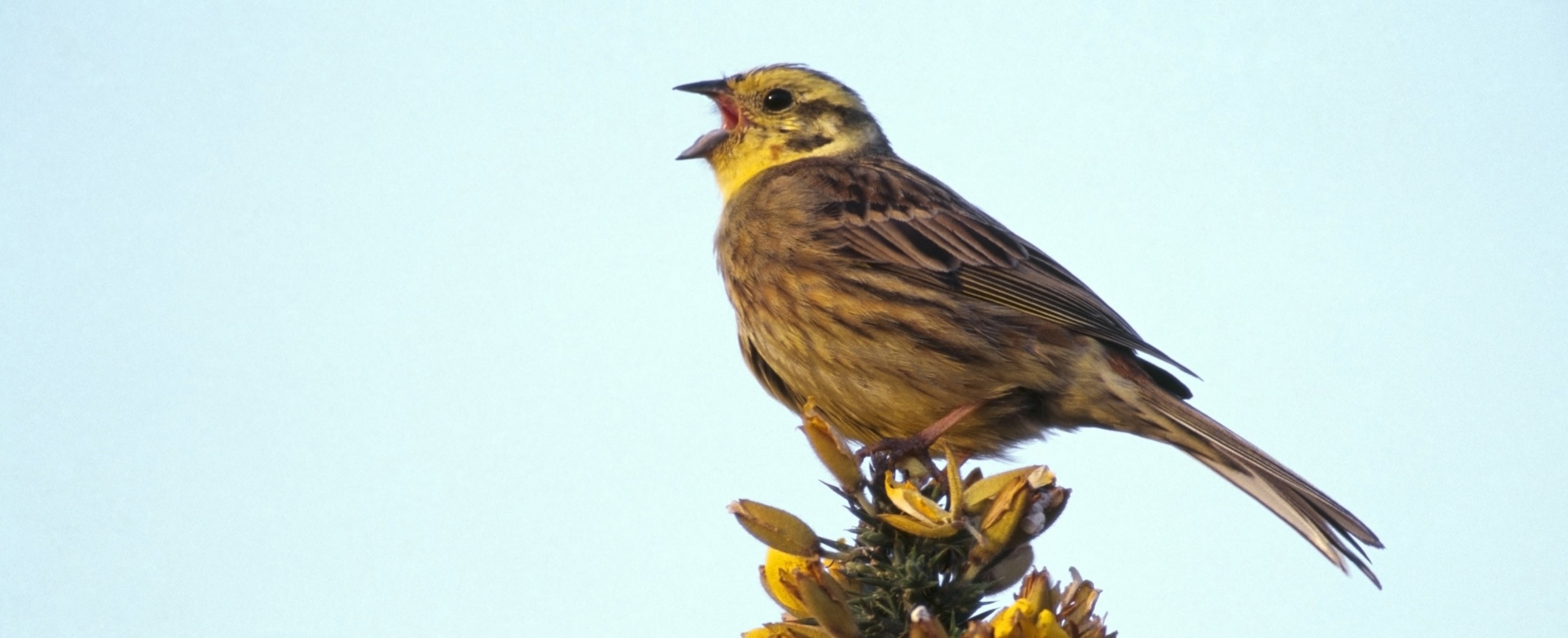 yellowhammer recovery conservation project the rspb