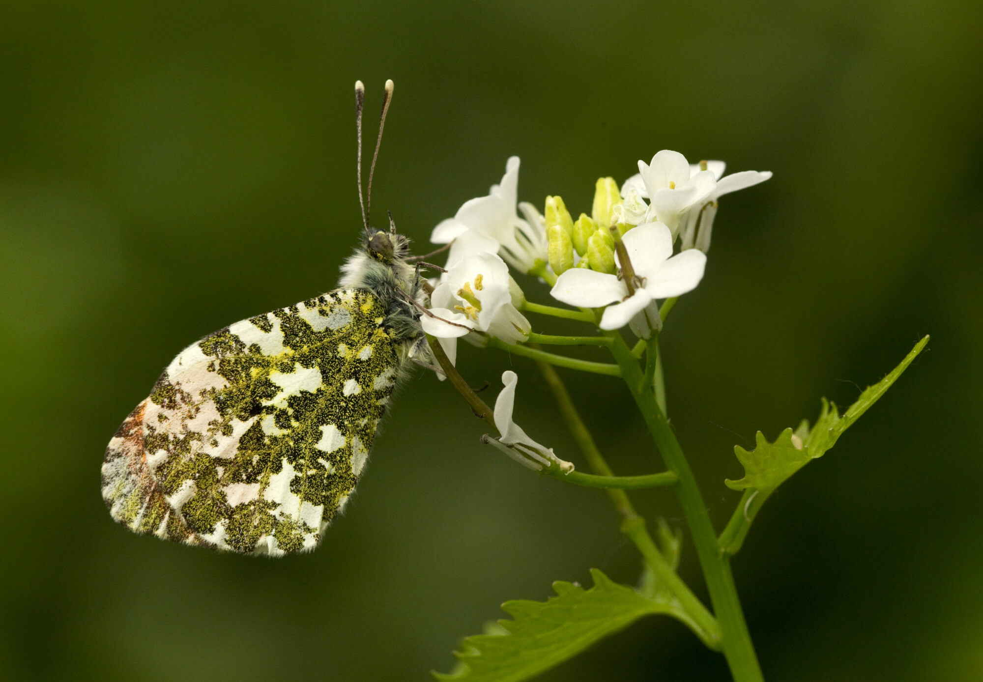 Orange-tip butterfly on garlic mustard plant