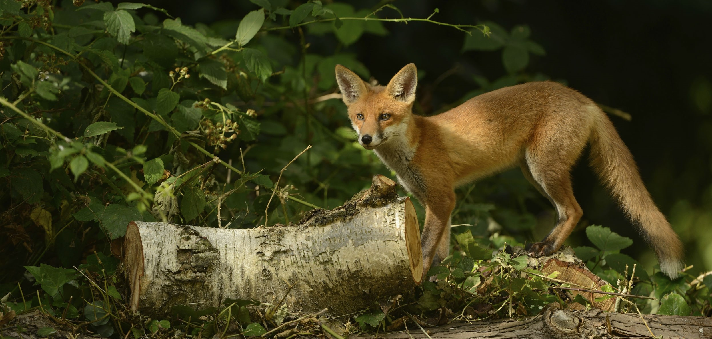 Find out how animals use their sense of smell to survive Fox Barking Audio on fox landing, fox running away, fox and coyotes pets, fox and their pups, fox sounds bark, fox north america, fox shedding, fox stealing food, fox looking up, fox pin, fox digging, fox tail up, fox reading, fox charm, fox aggressive behavior, fox being chased, fox behavioral and characteristics, fox and hedgehog, fox crying sound, fox and hen,