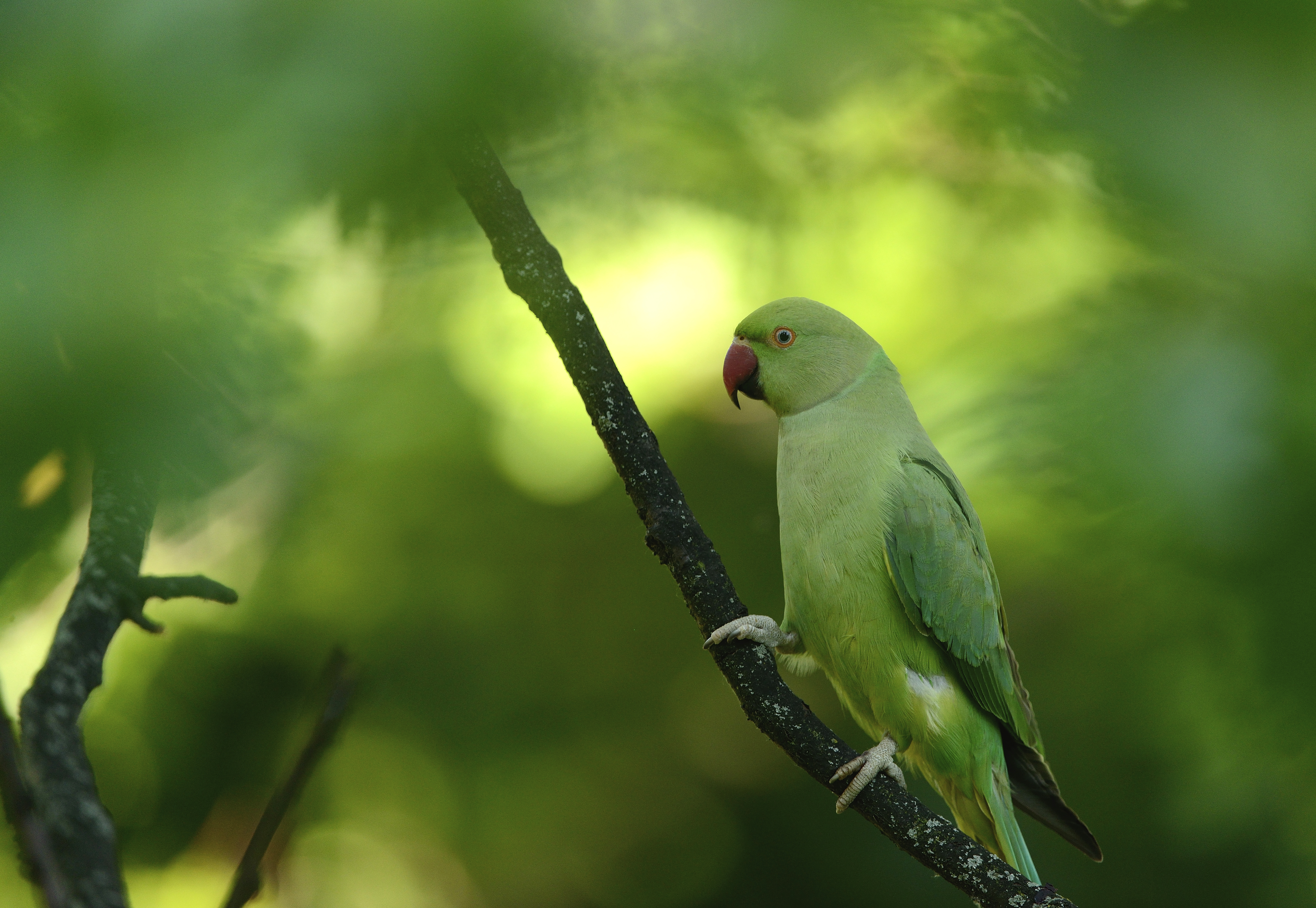 Ring Necked Parakeets in the UK - The RSPB