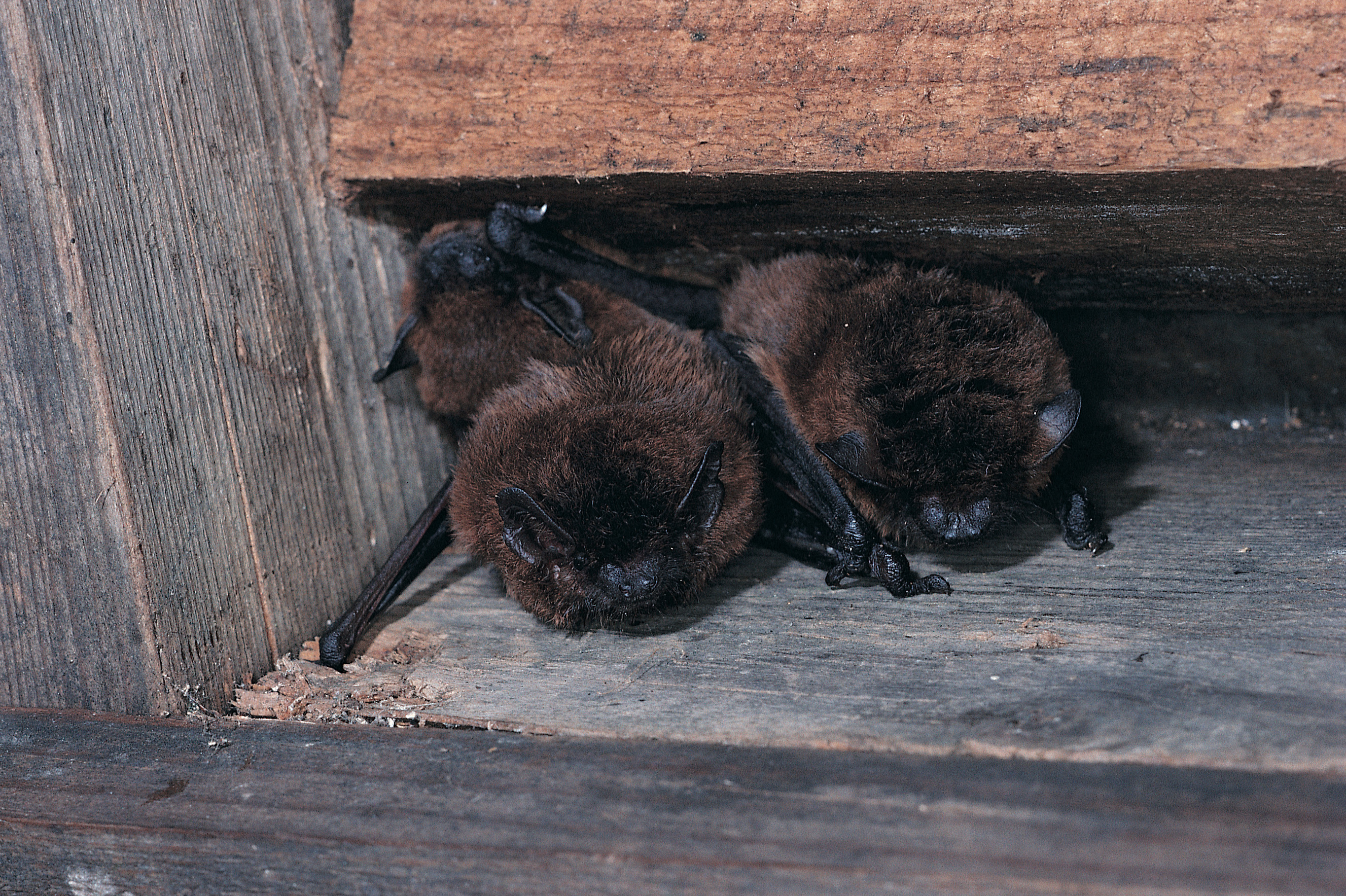 Bats In The House Living With Bats In The Attic Or Roof