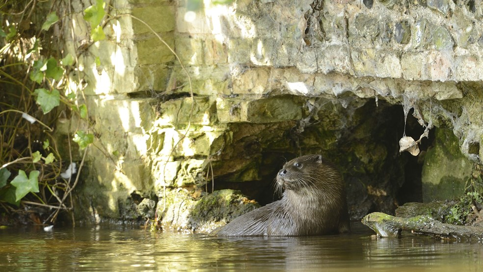 European otter Lutra lutra, eating in sheltered spot, Norfolk, England