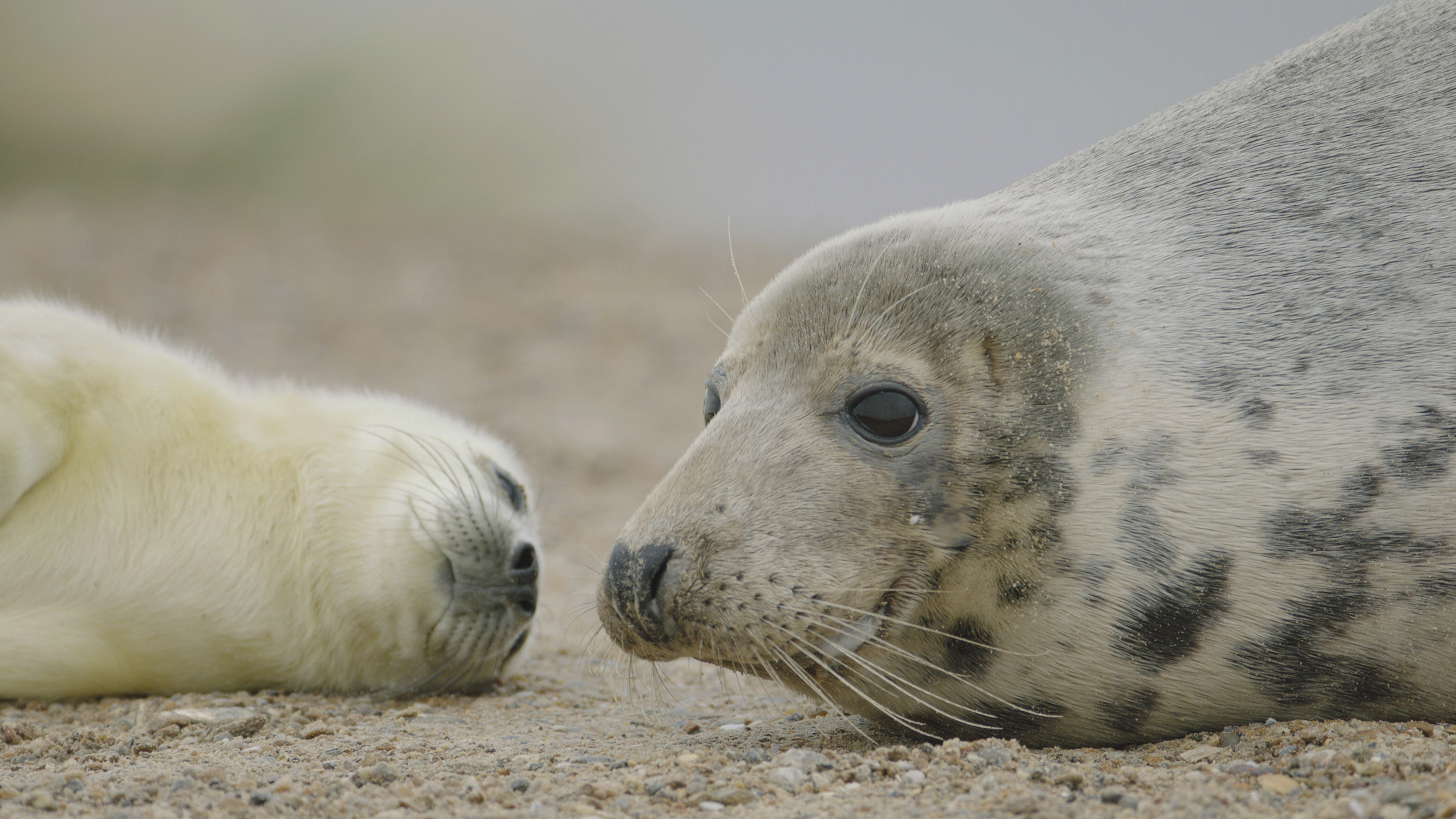 Seal Pups In The Uk See The Baby Seals This Winter The Rspb