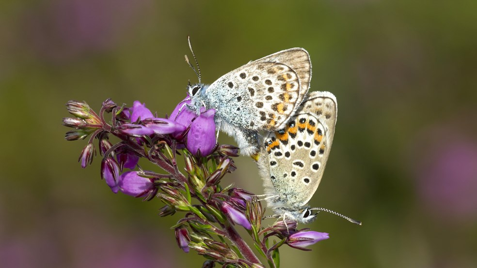Two silver-studded blue butterflies