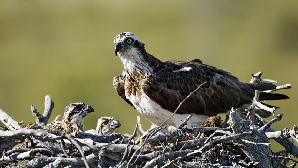 Osprey on nest with chicks
