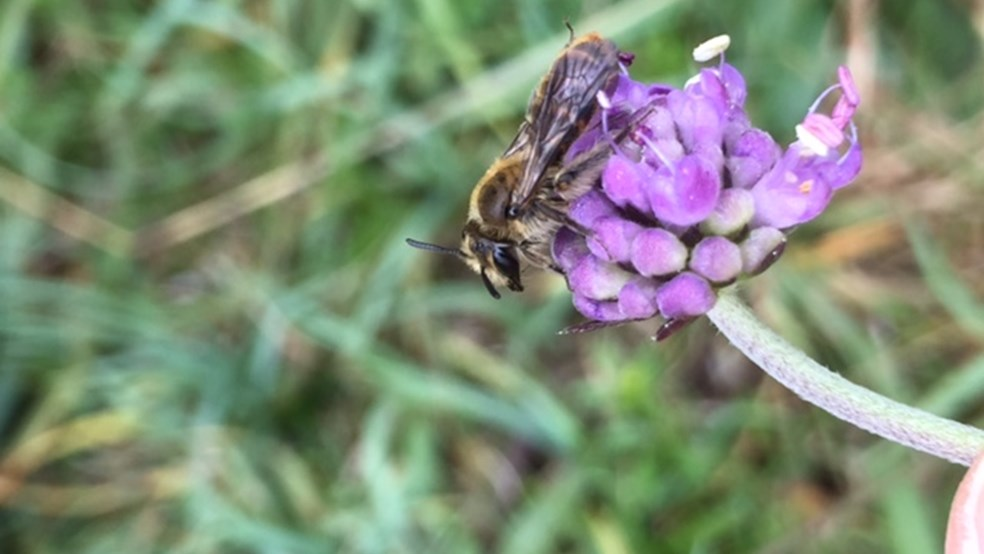 Small scabious mining bee