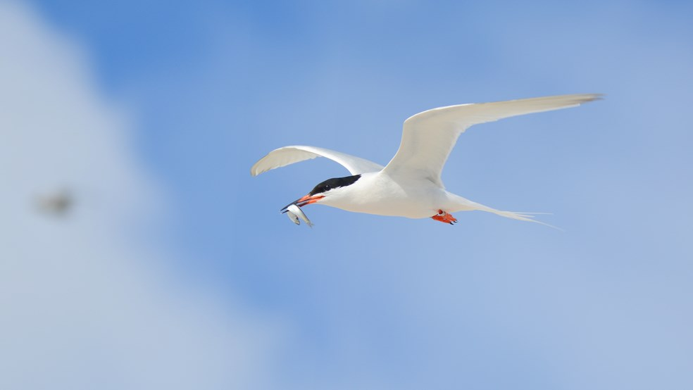 Roseate tern in flight with a sprat